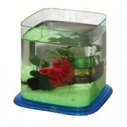 Cl Betta Paradise - Blue